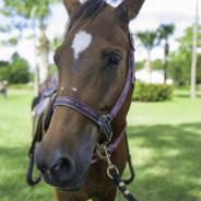 Horses that help-14 wm
